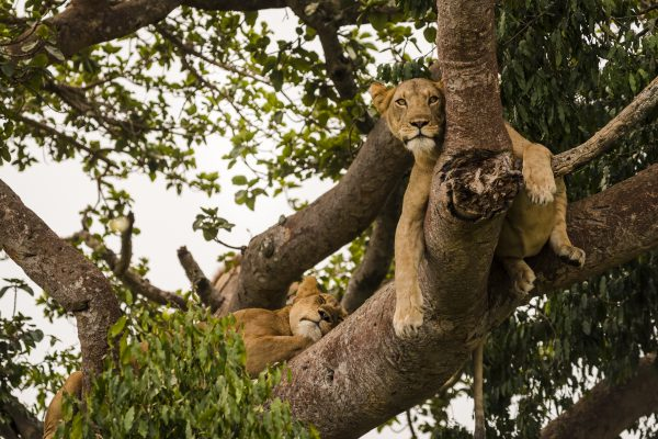 Tree Climbing Lion Ishasha Flying Safari