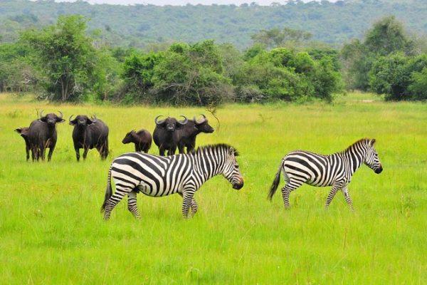 zebras & Buffaloes